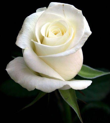 Rose - White Rose                                                                                                                                                     Más