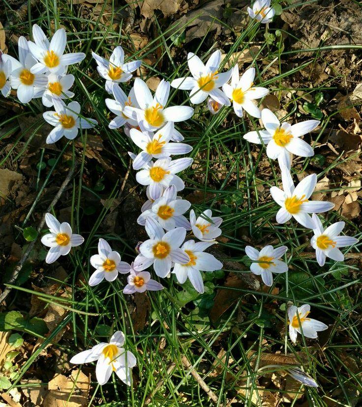 Rare crocus in Monza park (Boschetti) first signs of Spring.