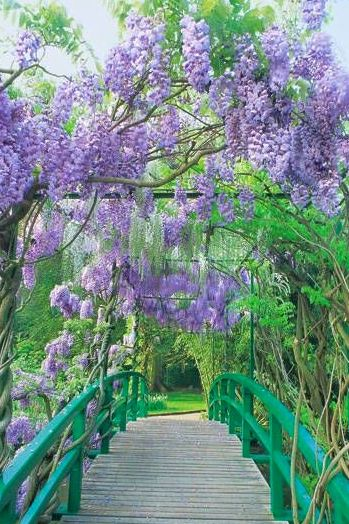 72 best Wisteria Wonderful images on Pinterest | Wisteria, Forests ...