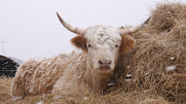 Highland Cattle [OC] [4608x2592]