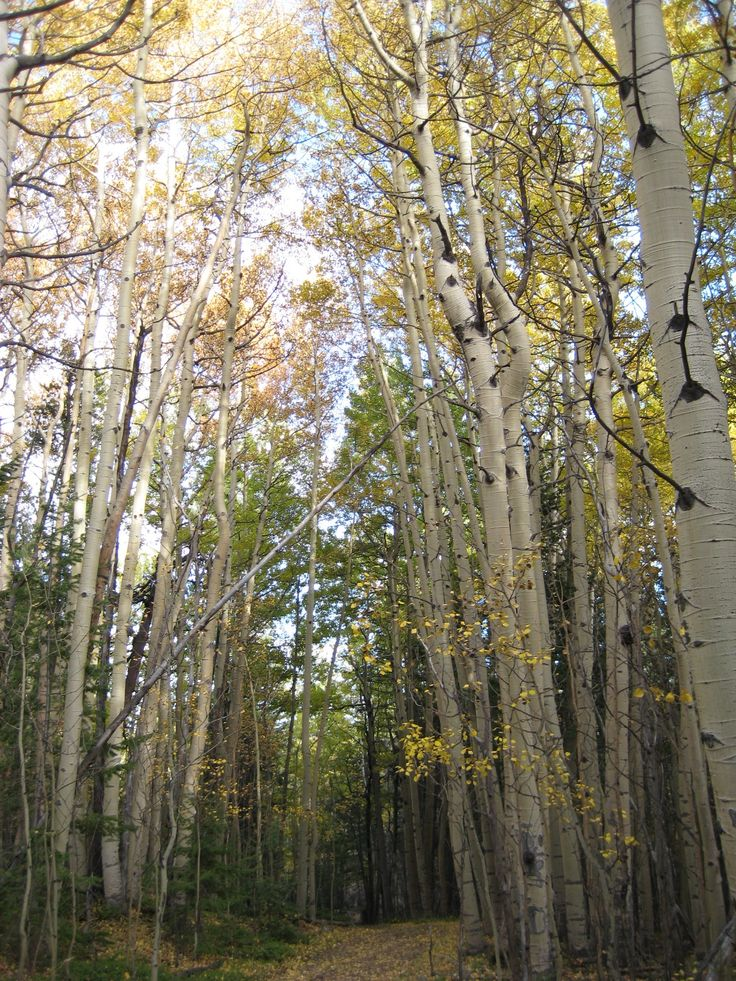 Aspen Trees  1 Peter 2:9-10 higher calling