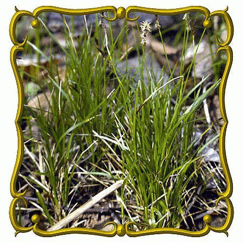 The 25+ best Carex full sun ideas on Pinterest Carex for sun - carex bronze reflection