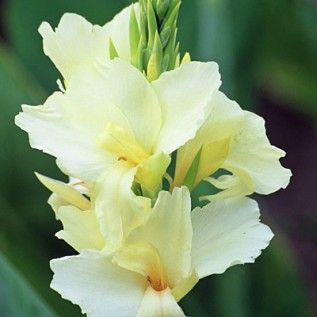 "Canna Lily Alaska 36""-42"" tall: White Flowers, Moon Gardens, Moonlight Gardens, 2012 Gardens, Alaska 3642, Canna Lilies, Lilies Alaska, Canna Alaska, White Canna"
