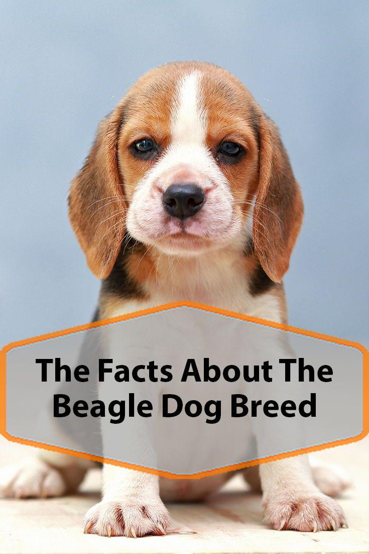 Beagle Dog Breed Information Dog Breeds Beagle Dog Breed