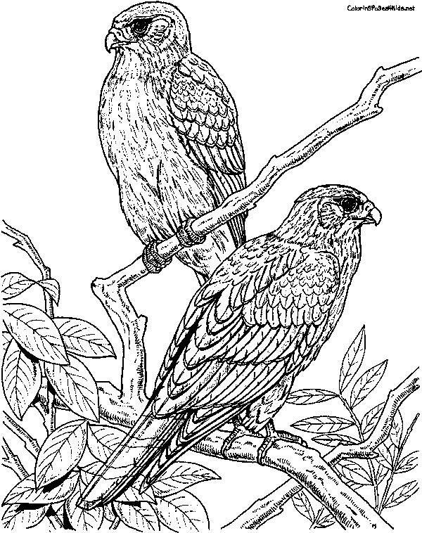 falcon coloring pages - photo#9