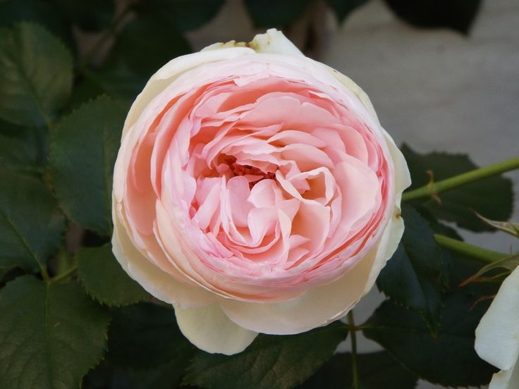 Our beautiful, heavenly scented rose, see our competition http://cornerwayhouse.co.za/blog/rose-competition-win-a-weekend-at-cornerway/     - Name the rose and win a 2 night stay @cornerwayhouse B&B