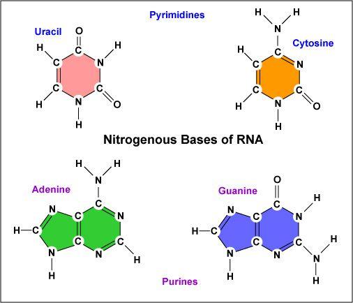 Cytosine | ... Four Nitrogenous Bases in RNA: Adenine, Guanine, Cytosine, and Uracil