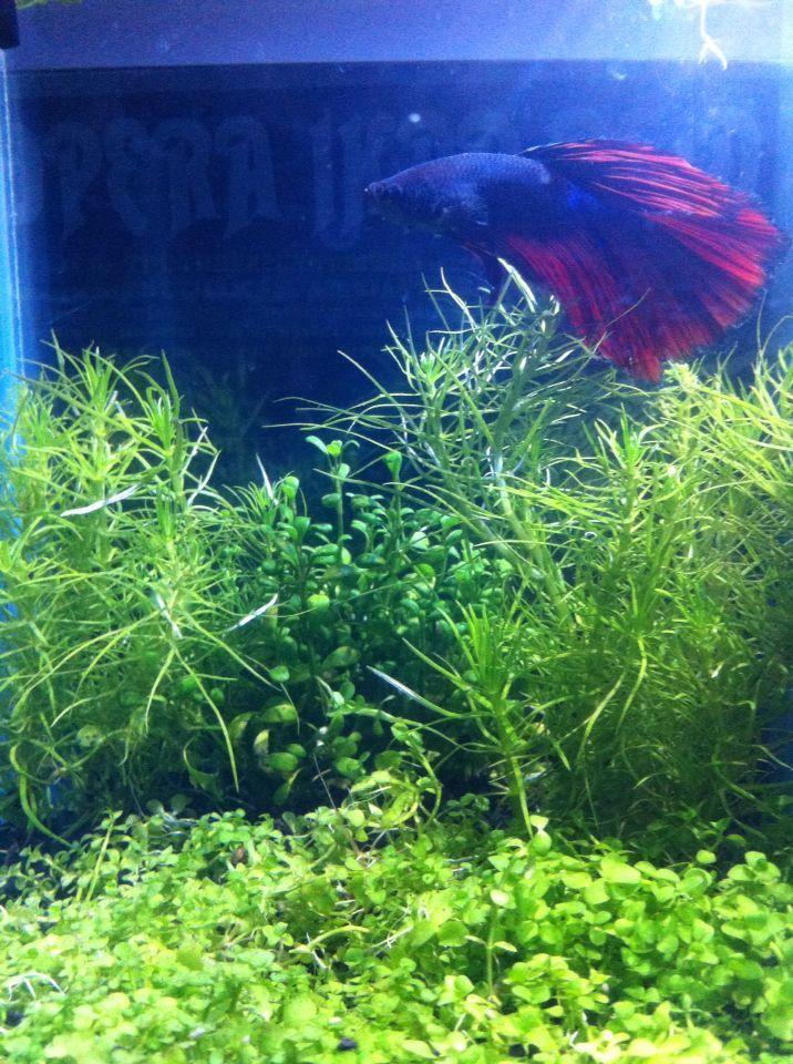 my betta fish tank