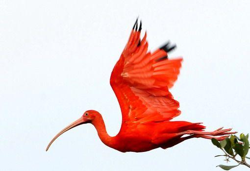 the scarlet ibis packet pdf