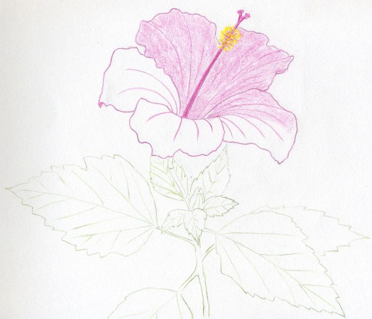 25 best ideas about hibiscus flower drawing on pinterest for Easy flower drawing tutorials