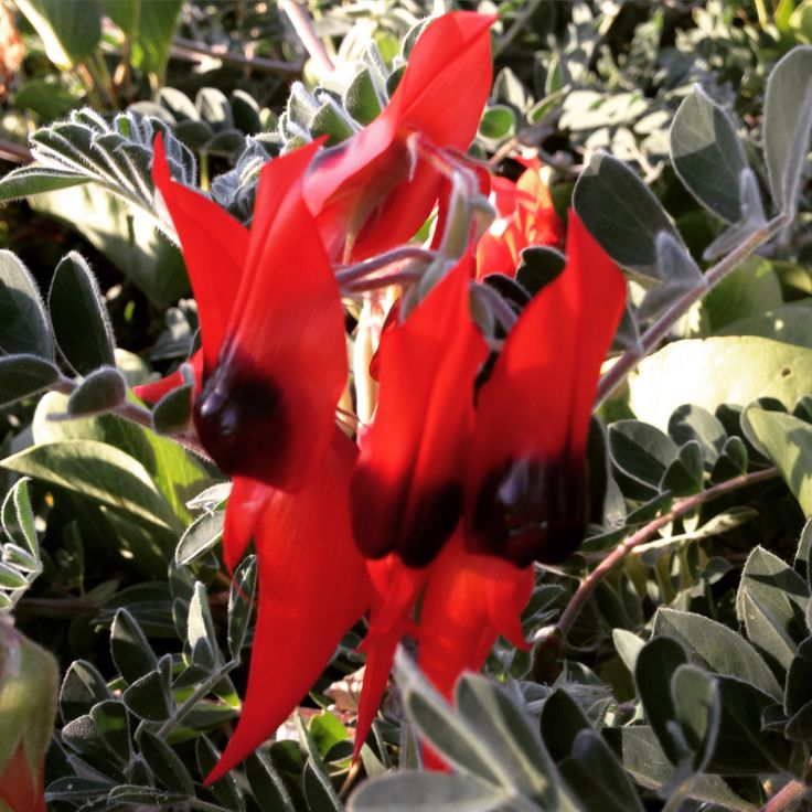 Stuart Desert Pea native WA wildflower