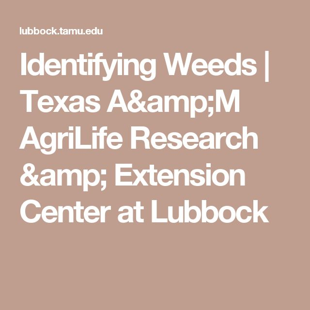 Identifying Weeds | Texas A&M AgriLife Research & Extension Center at Lubbock