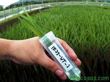 Efectos del ADN/ARN exógeno procedente de plantas genéticamente modificadas sobre el sistema inmunitario humano - Ecocosas