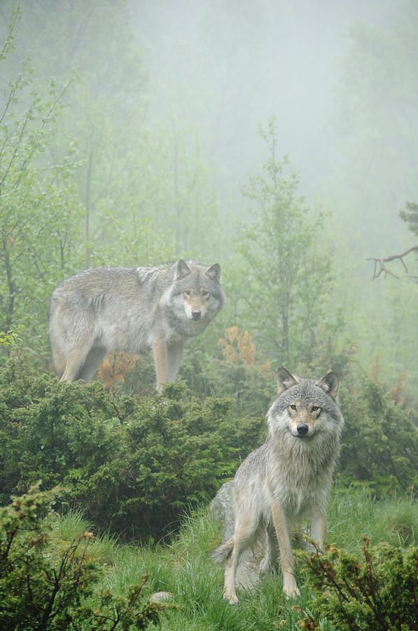 Wolves in the mist, they are tenacious in pursuit , so once tracked by this pack , your time is up very quickly , what a way to go , chased to point of panic , then finished off the feed the hungry pack