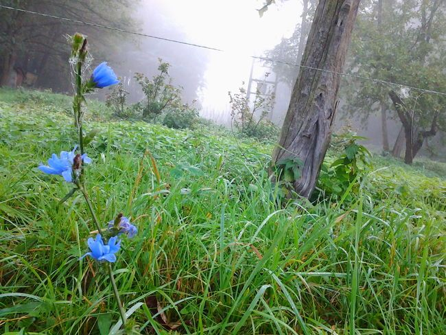 Blue morning Blue Flower Fog Forest Green Color Low Resolution Morning Tree