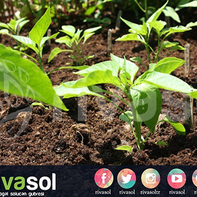 FİDE DİKİMİNDE ERKENCİLİK VE VERİM ARTIŞI İÇİN #rivasol solucan gübresini kullanabilirsiniz.    #organik #solucangubresi #solucangübresi #vermikompost #tarım #organiktarım #ziraat #gübre #organikgübre #sıvıgübre #bitki #instaorganic #organic #vermicompost #vermicomposting #liquidfertilizer #fertilizer #organicfertilizer #natural #farm #farmer #iyitarim #doğal #çiftçi #ceviz #fidan #fide