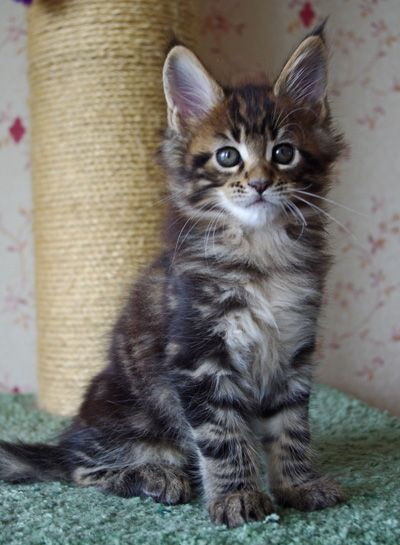 Limbo black marble maine coon kitten 2 months old for Koi pond maine coon cattery