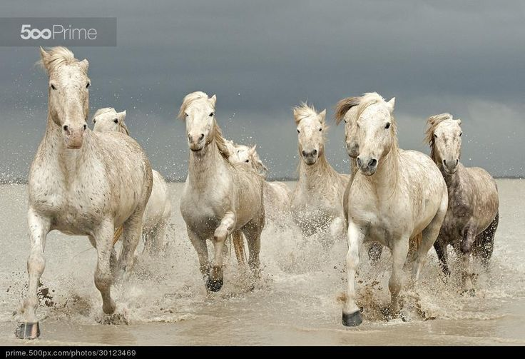 Tag: Horses on the Camargue