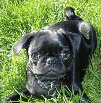 New obsession = Bugg dogs (cross between pug and boston terrier)