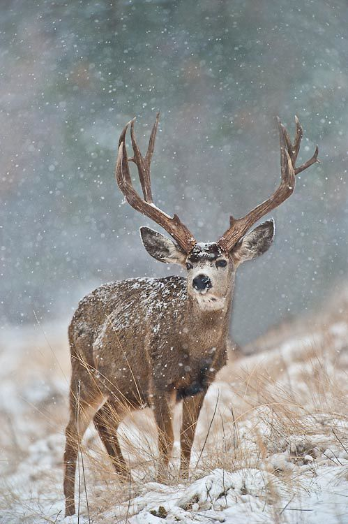 mule deer designs - Google Search
