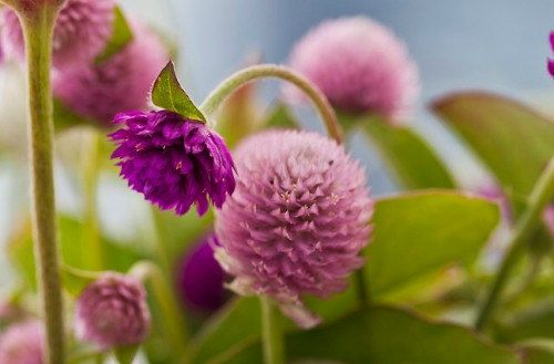 Heirloom 500 SEEDS Globe Amaranth Gomphrena globosa Gnome Pink Flower Bulk B1069