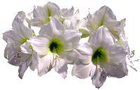 amaryllis 3