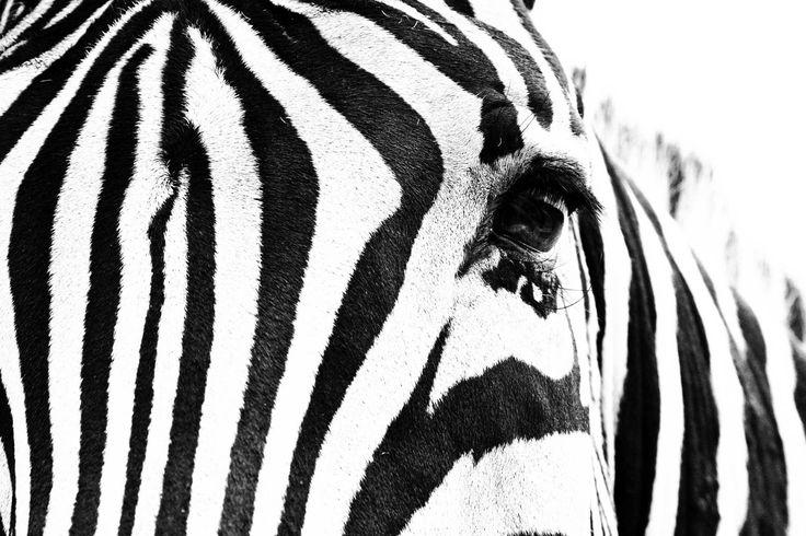 Striber Savanne Vilde dyr Afrika fototapet/tapet fra Happywall