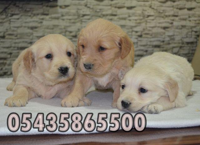 golden retriever yavruları  http://golden-retriever.yavruilani.com/golden-retriever-fiyatlari-pet-shop/
