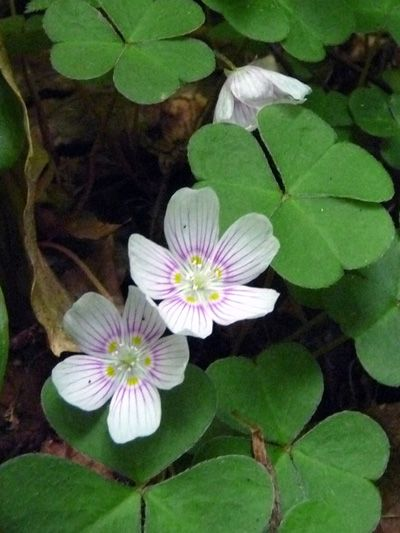 Common wood-sorrel (Oxalis montana) wet shade plant/ ground cover
