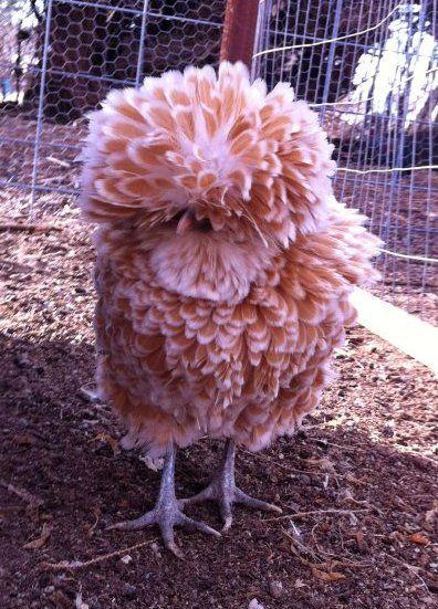 Bantam Buff Laced Polish Chicken