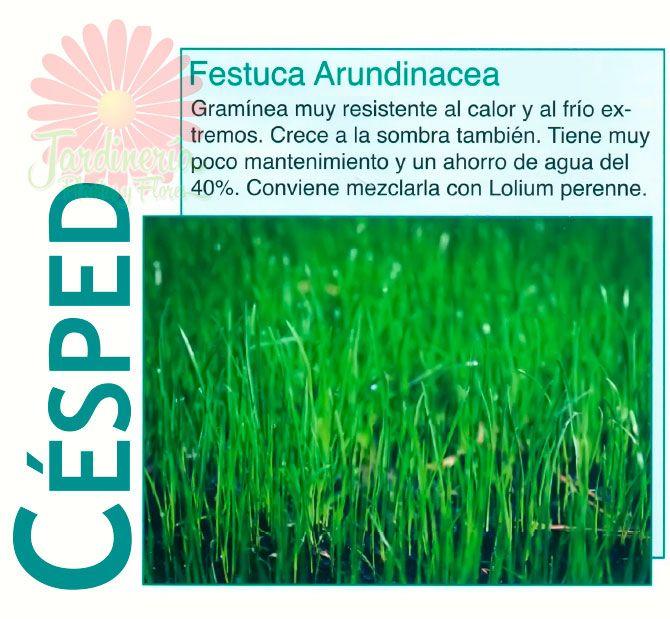 Festuca arundinacea for Trucos jardineria