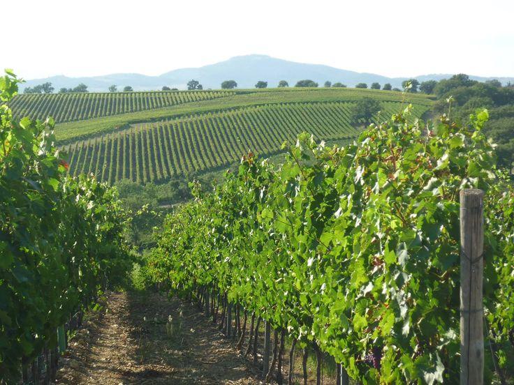 Scansano - Poggio al Tufo Vineyard #Tommasiwine #Tommasi #wine www.tommasi.com