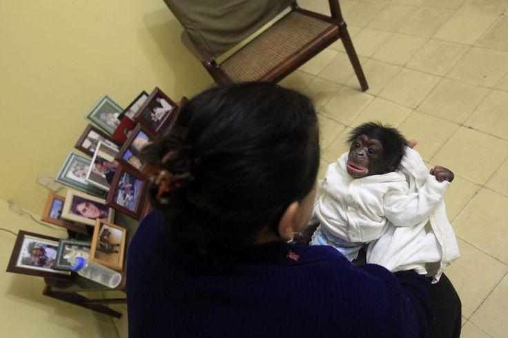 Cuba Monos 2Aunque son adorables, Marta Llanes, de 62 años, despues de un año planea regresarlos al zoológico de La Habana. En la foto, la bióloga le habla a Anumá, a los siete días de nacido. 15 de enero de 2015.