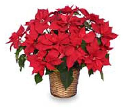 Christmas-Poinsetta-(400w)