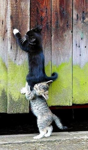 {LOL} Cats - Now I have a stripe cat and a black and white cat just like these - too funny. My phrase. I'll lift - do you see her yet?