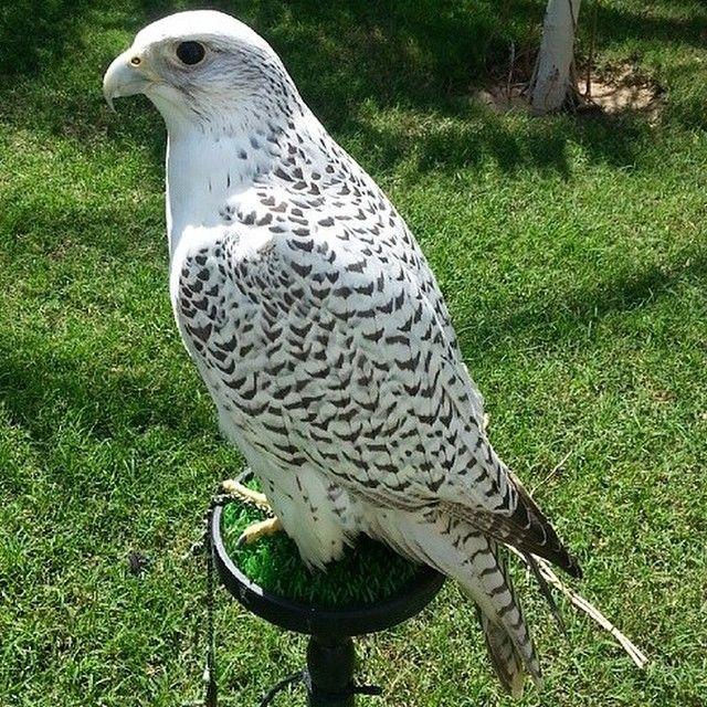 Falcon Falconry Gyrfalcon Peregrine Kuwait Qatar Ksa Uae Falconer Gyrkin Falconry Falcon Hawk Peregrine