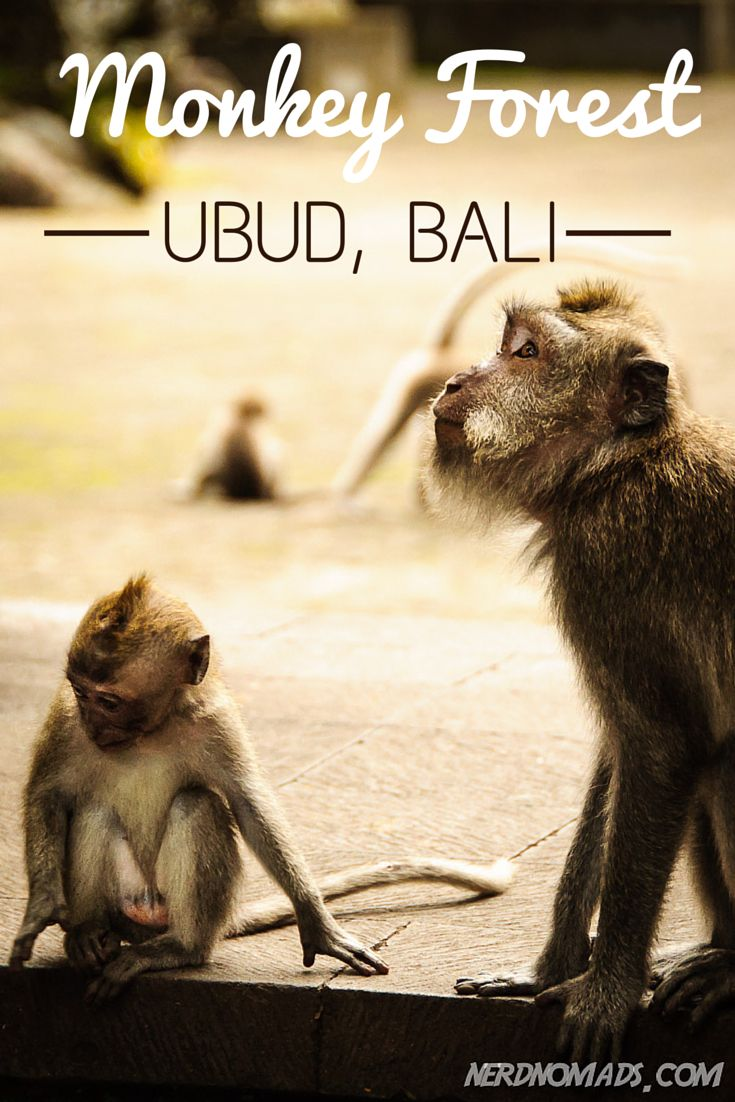 Read the dramatic story about when we got attacked by monkeys in Monkey Forest, Ubud, Bali: http://nerdnomads.com/monkey-forest-ubud-bali