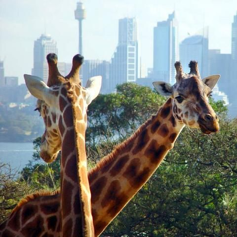 Taronga Zoo and Taronga Western Plains Zoo have a rich and varied history that dates back to 1884 when the first zoo in New South Wales opened in Sydney on a site known as Billy Goat's Swamp.