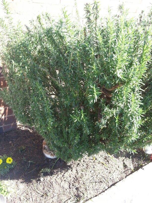 Rosemary bush doing VERY well!!  :-)