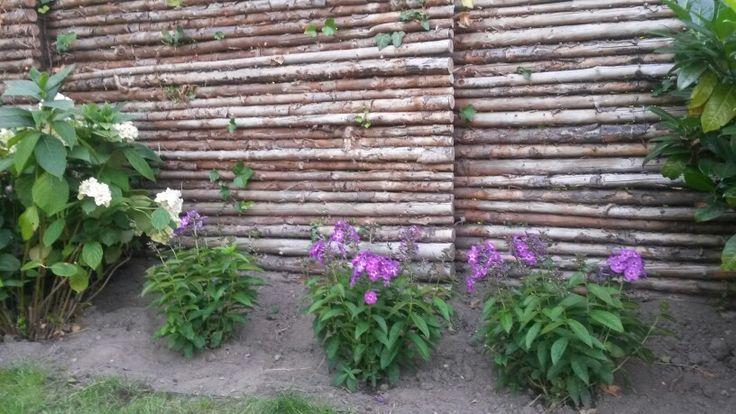 Aug 15;  Phlox pan adessa special purple