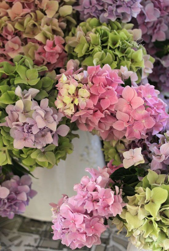 Hydrangea - fluffy, softly textured, colors fading into each other, gently contrasting