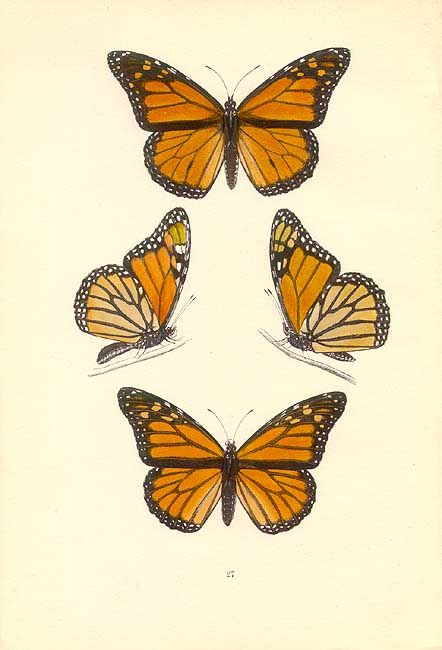 Butterfly+Botanical+Prints | Monarch butterfly from Butterflies by Morris. Genuine antique print ...
