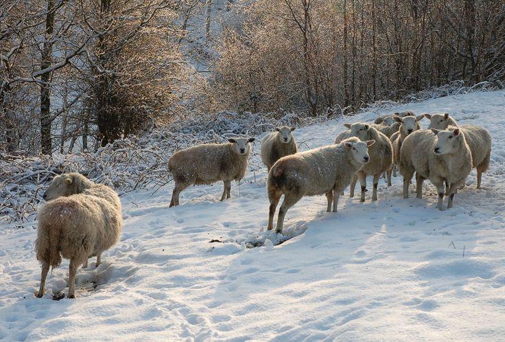 Sheep near Cherry Tree Row, Wilsden, by Tony Caunt LRPS (December 2012 cover)