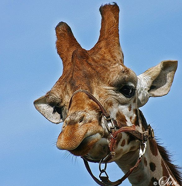 Giraffe met halster