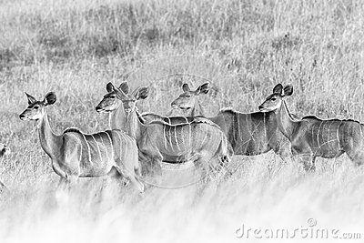Wildlife kudu buck animals in grasslands ears up alert for danger in black white vintage tone