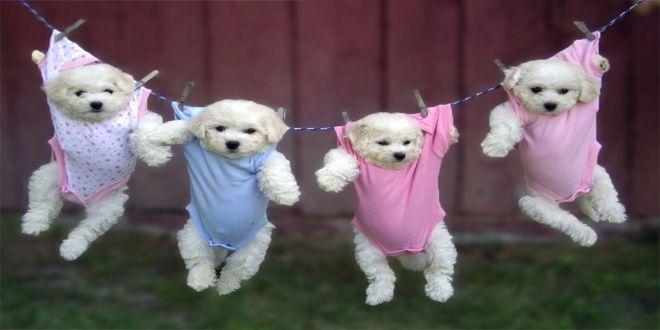 Conoce aquí algunas de las razas que componen el grupo de perros de juguete y verifica si dentro de este grupo se encuentra la raza de perro que más te gusta. Clic Aquí>>> http://sobreperrosygatos.com/perros-de-juguete/
