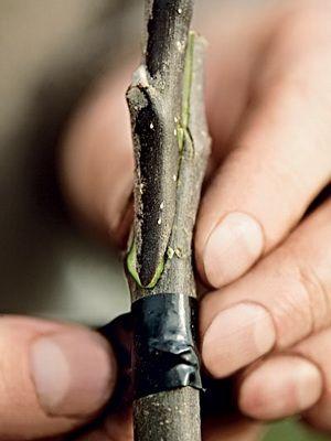 Виды прививок плодовых деревьев и садового вара