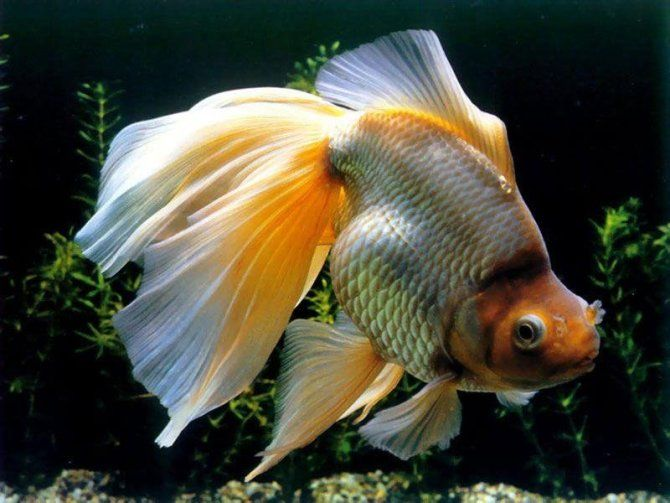 128 best images about goldfish on pinterest bristol for Outdoor goldfish for sale