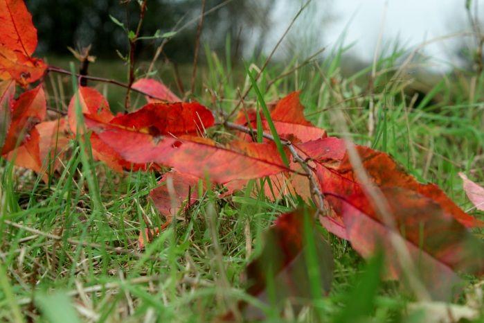 rode bladeren in de herfst in Drenthe