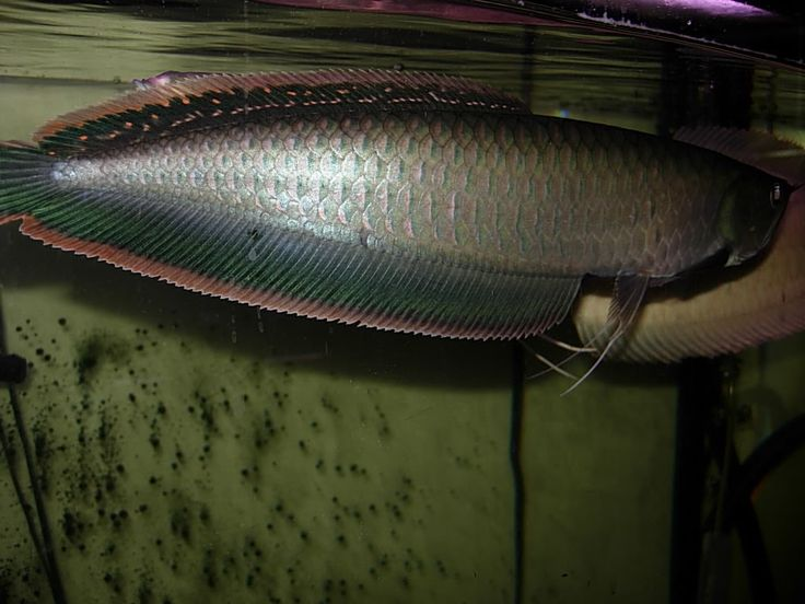 39 best images about arowana on pinterest san diego for Koi for sale san diego